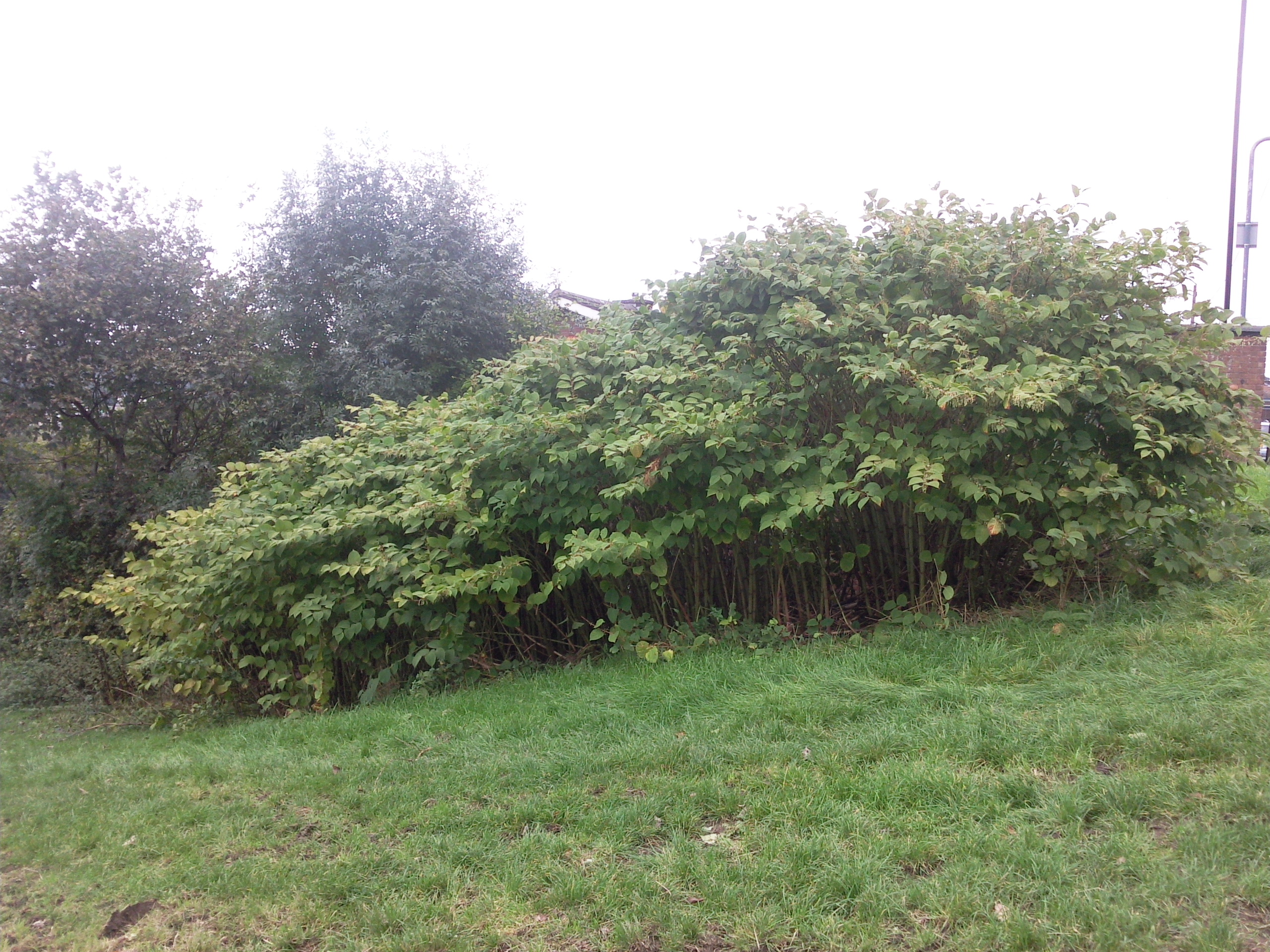 Japanese Knotweed Removal By Sheffield Based Experts